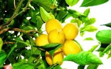 Sagra del limone